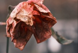 a wilted, dead rose
