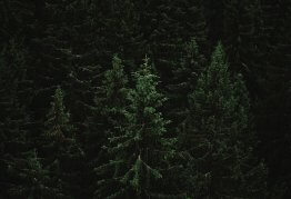 thick rows of dense, dark, forest pine trees