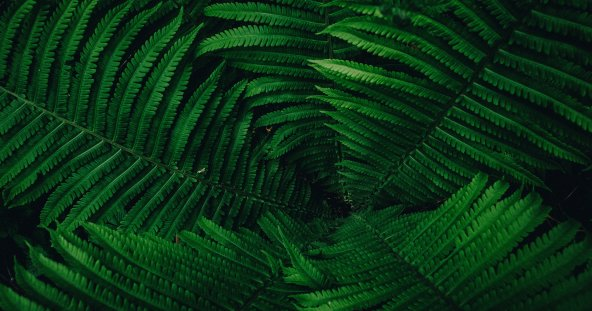 a group of dark green ferns fanned out in a circle to cover the image